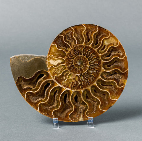 Fossils for Sale: Sliced Ammonite from Madagascar - Many sizes available
