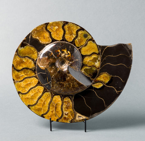 Ammonite Fossils for Sale: Spectacular Craspedodiscus Ammonite From Russia - 15.5 inches