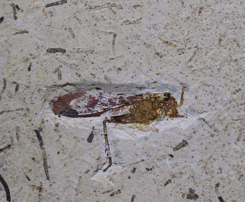 Fossil Grasshopper from Crato, Brazil