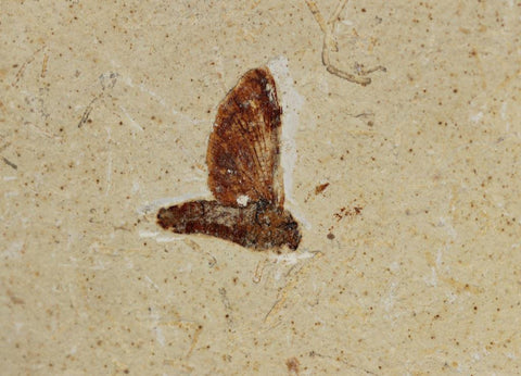 Fossil Mayfly - Crato Formation, Brazil