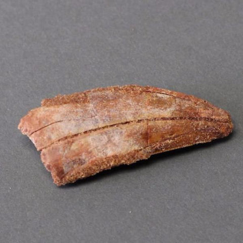 Dinosaur Fossils For Sale: Carcharodontosaurus Dinosaur Tooth - 2.7 inches