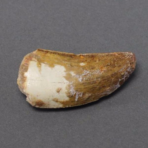 Dinosaur Fossils For Sale: Carcharodontosaurus Dinosaur Tooth - 2.2 inches