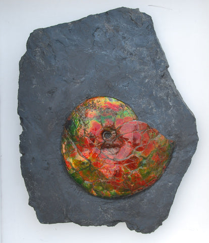 Iridescent Ammonite (Ammolite) in Matrix, 16""