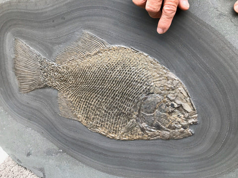 Rare Fossil Fish, Dapedium punctatus - 18.9""