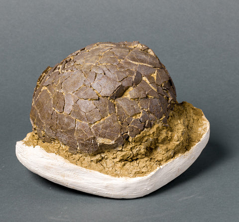 Fossils for Sale: Spectacular Rare Dinosaur Egg (Titanosaur) from France