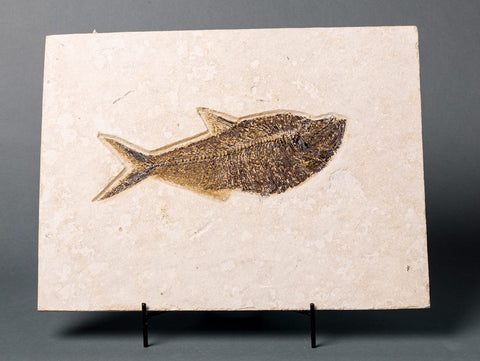 Fossils for Sale: Huge Fossil Fish - Diplomystus - 16.5 inches