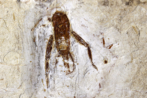 Fossil Cricket from Crato, Brazil