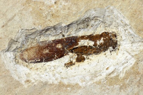 Fossil grashopper from Crato, Brazil
