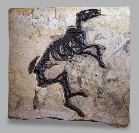 Rare Fossil Dawn Horse - Protorohippus venticolus: Green River Formation Fossils For Sale
