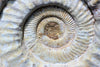 Ammonite Fossils for Sale: Giant White Ammonite, Madagascar - 19.1 inches! - Closeup