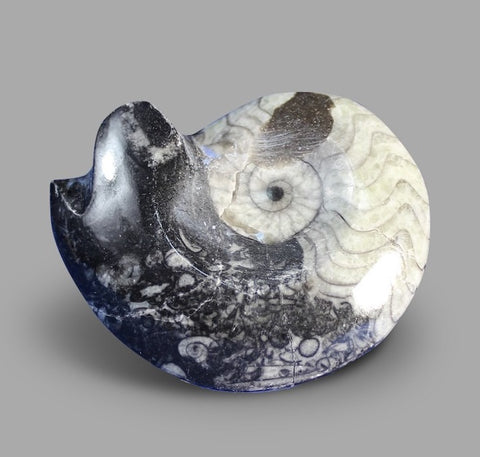 Goniatite Ammonite, Morocco - 2 inches