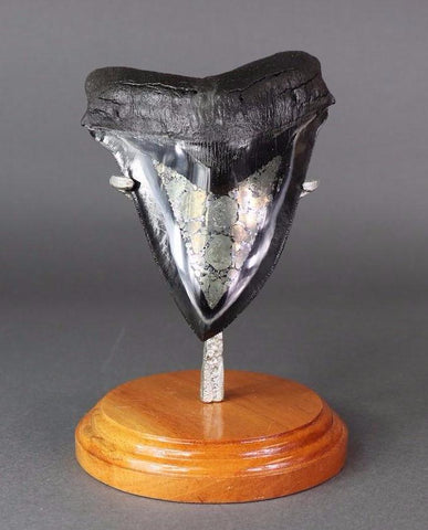 Beautiful Megalodon Shark Tooth With Pyrite - 5.75 inches