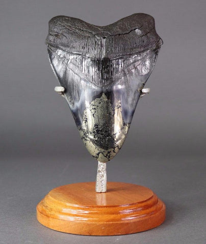 Gigantic Megalodon Shark Tooth with Pyrite - 6.25 inches