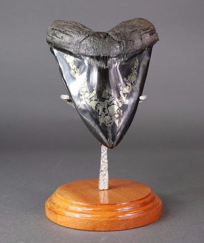 Stunning Megalodon Shark Tooth With Pyrite - 6.24 inches