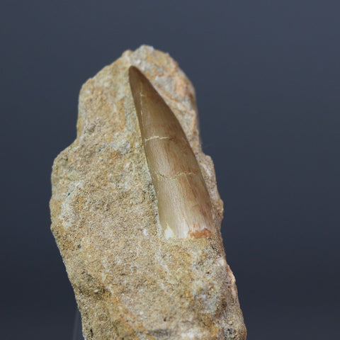 Set of 3 Fossil Plesiosaur Teeth in Phosphate Rock