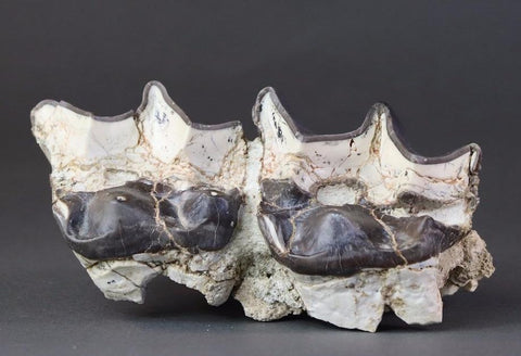 Gigantic Brontotherium (Titanotherium ingen) Teeth - 7.5 inches