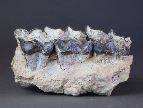 Brontotherium Jaw Section - 9.25 inches