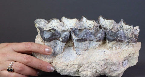 Brontotherium (Titanotherium ingen) Jaw Section - 9.25 inches