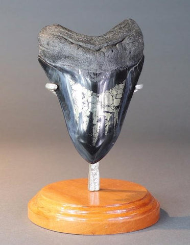 Megalodon Tooth with Pyrite - 5.8 inches