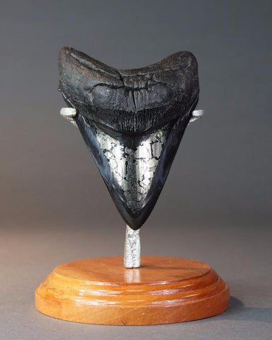 Megalodon Shark Tooth with Pyrite - 5.1 inches