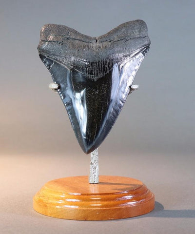 Fantastic Polished Megalodon Tooth - 6.12""
