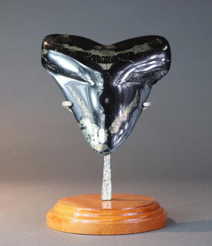 Huge Megalodon Tooth with Pyrite - 6.2 Inches