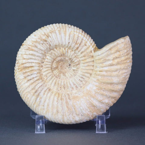 Set of 3 White Ammonites from Madagascar