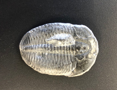 2 Elrathia Trilobites, 507 million years old - 1.25""