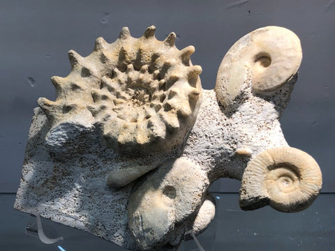 Ammonite Association (3 species), France - 8.5""