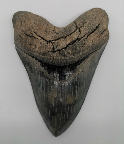 Huge Serrated Megalodon Tooth - 6.16 inches