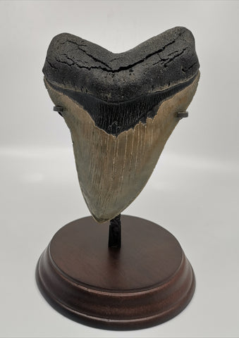 Superb Megalodon Shark Tooth - 5.66 inches