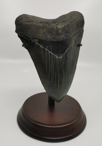 Spectacular Megalodon Shark Tooth - 5.88 inches
