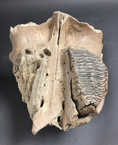 Woolly Mammoth Upper Jaw with Large Molar - 17 inches - Fossil Realm