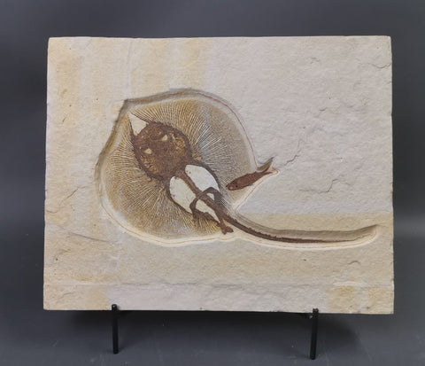 Fossil Stingray (Heliobatis radians) and Fish