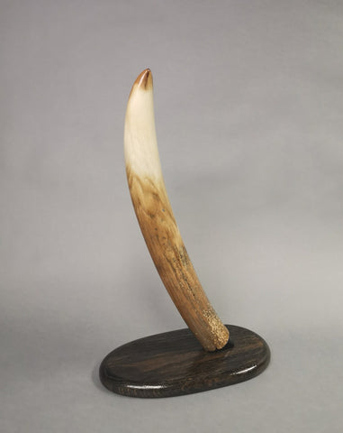 Juvenile Mammoth Tusk from Siberia - 16 inches