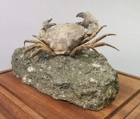 Fossil Crab, Xanthopsis dufourii - 5 inches