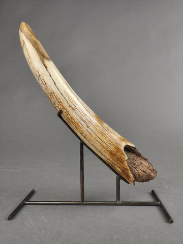 Mammoth Tusk Tip from Yakutia - 11.5""