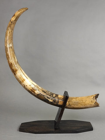 Mammoth Tusk from Yakutia - 46""