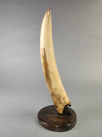 Mammoth Tusk from Siberia -  14.5 inches