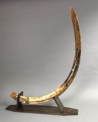 "7'1"" Woolly Mammoth Tusk"
