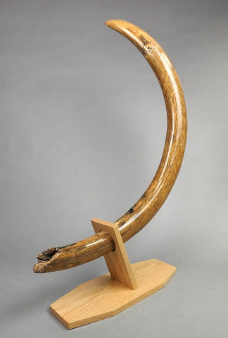 "54"" Woolly Mammoth Tusk"