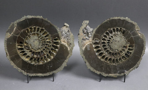 "Sliced Pyritized Ammonites, Speetoniceras - 12"" Each"