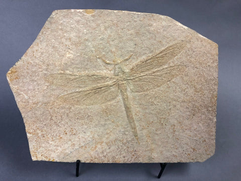 Large Fossil Dragonfly, Solnhofen - 6.75 inches