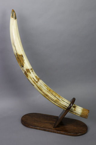 Amazing Woolly Mammoth Tusk - 37.75""