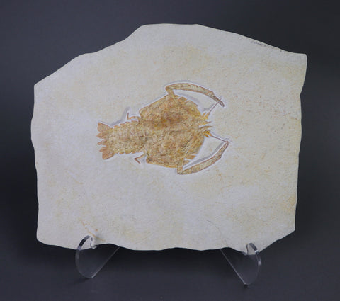Large Rock Lobster from Solnhofen - 7.25 inches
