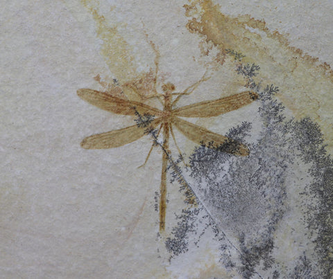 Fossil Dragonfly from Solnhofen, Germany - 3.1 inches