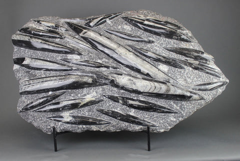 Orthoceras Fossils for Sale: Polished Orthoceras Fossil - 16.6 kg - 25 inches