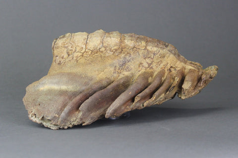 Pair of Beautiful Lower Woolly Mammoth Molars from Siberia - 7 inches -  Fossil Realm