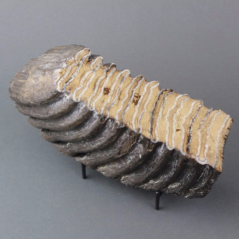 Large Polished Woolly Mammoth Tooth Section - 6.5 inches