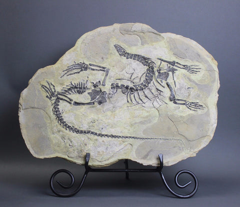 Rare Fossil Reptile Skeleton For Sale - Claudiosaurus